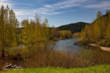 Idaho, Northern, Kootenai County, Kingston, Enaville. Cottonwood trees budding out along the Coeur d'Alene River in spring.