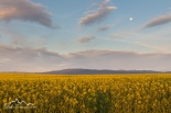 Idaho, North Central, Grangeville. Soft evening light on Canola fields underneath an almost full moon in May.