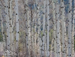 Idaho, North Fork, Aspen Trees in spring on Lost Trail Pass.